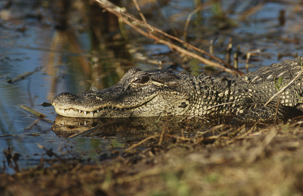 alligator lying on edge of water