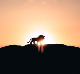 lion silhouette at sunrise